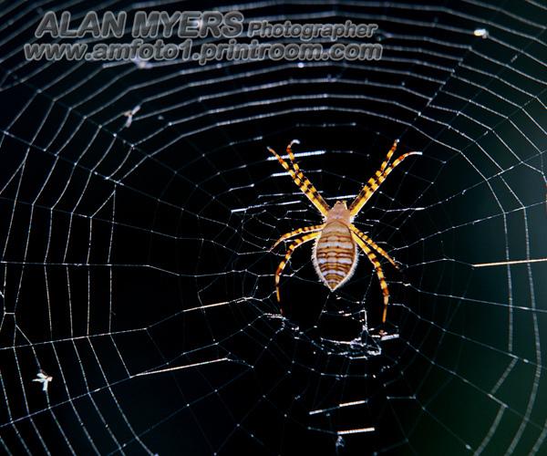 Black & yetllow garden spider