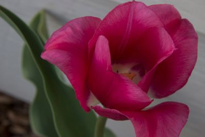 _MG_tulip.jpg