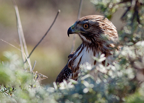 Redtail hunting