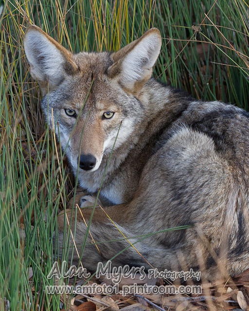 Valley Coyote