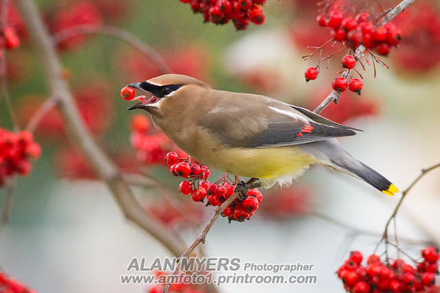 Waxwing lunch