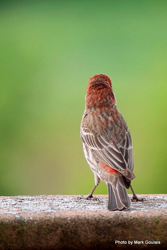 Standoffish Finch (2).jpg