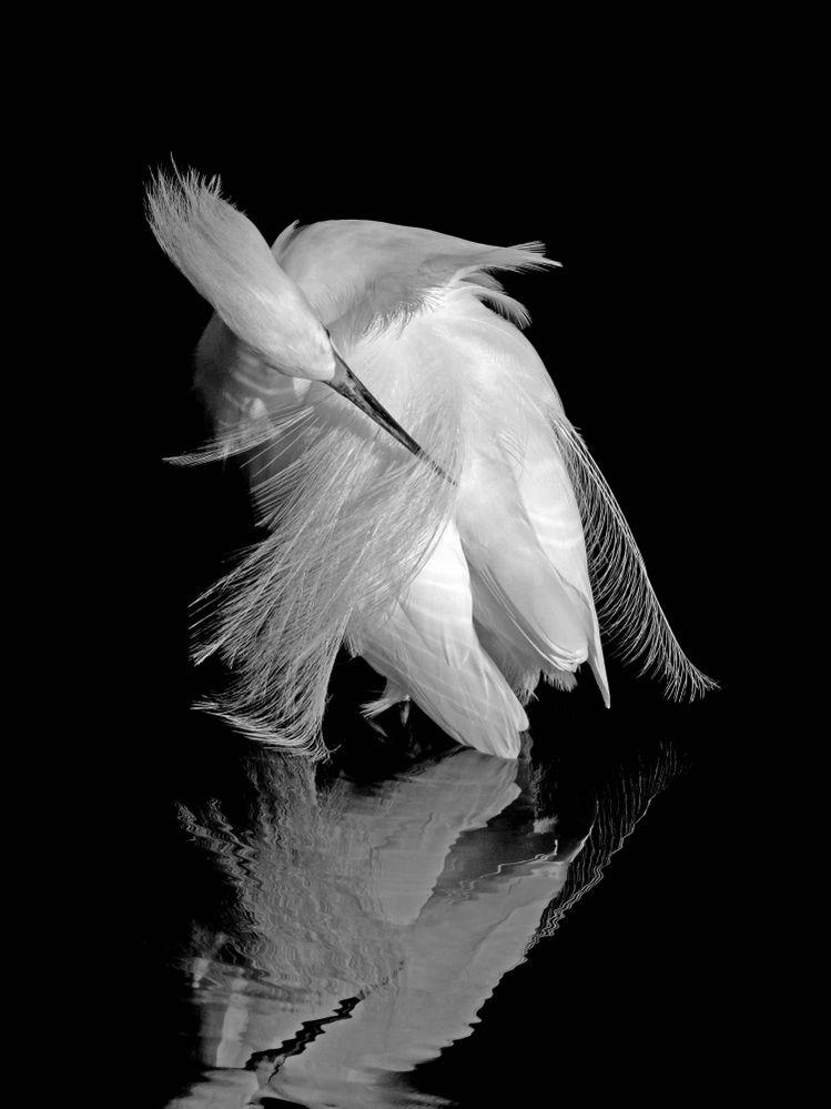 Snowy Egret Series (10) (1) (1).jpg