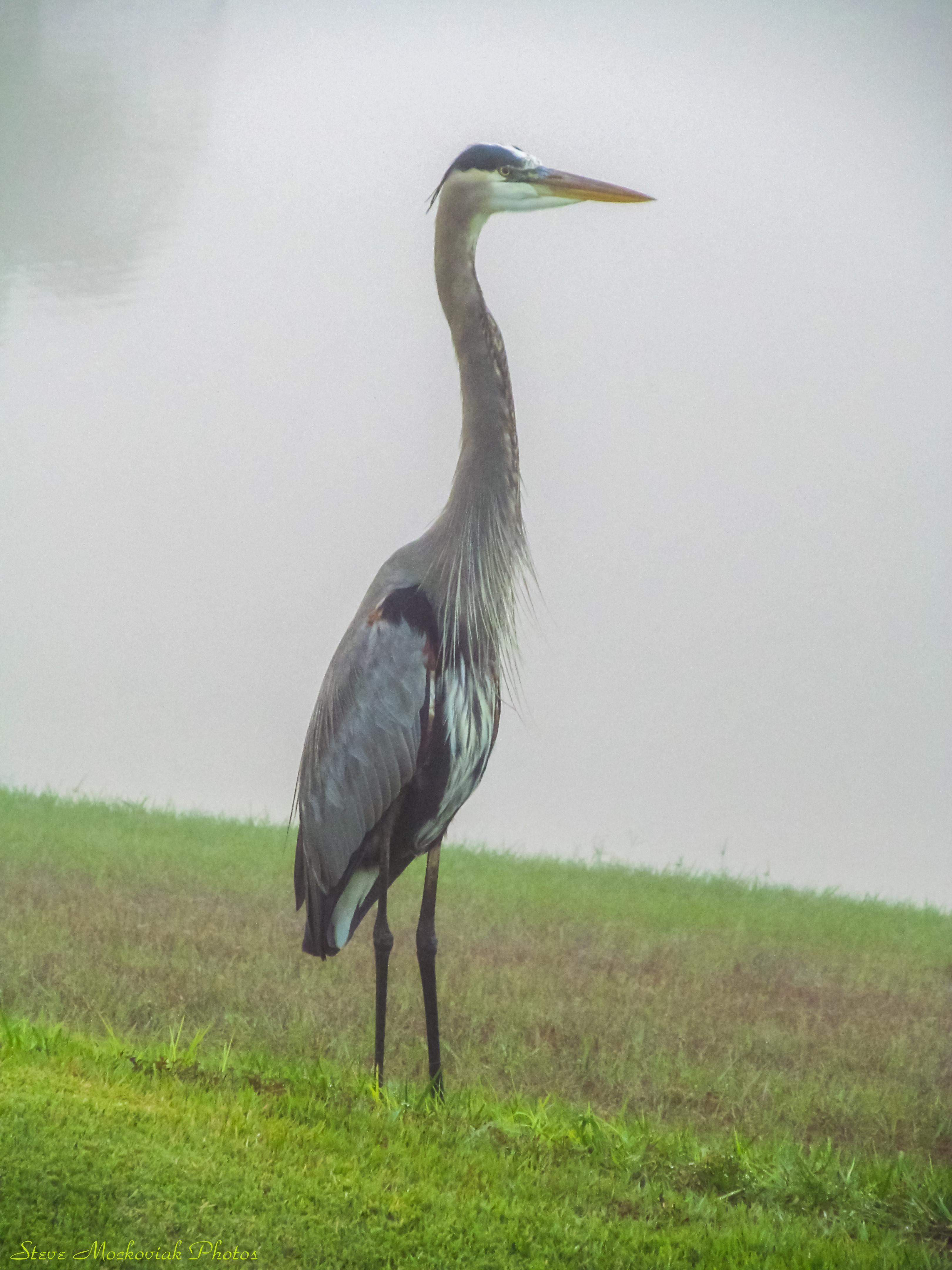 Proud Heron2_11618.jpg