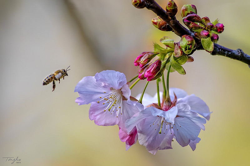 Bee on Cherry Blossoms