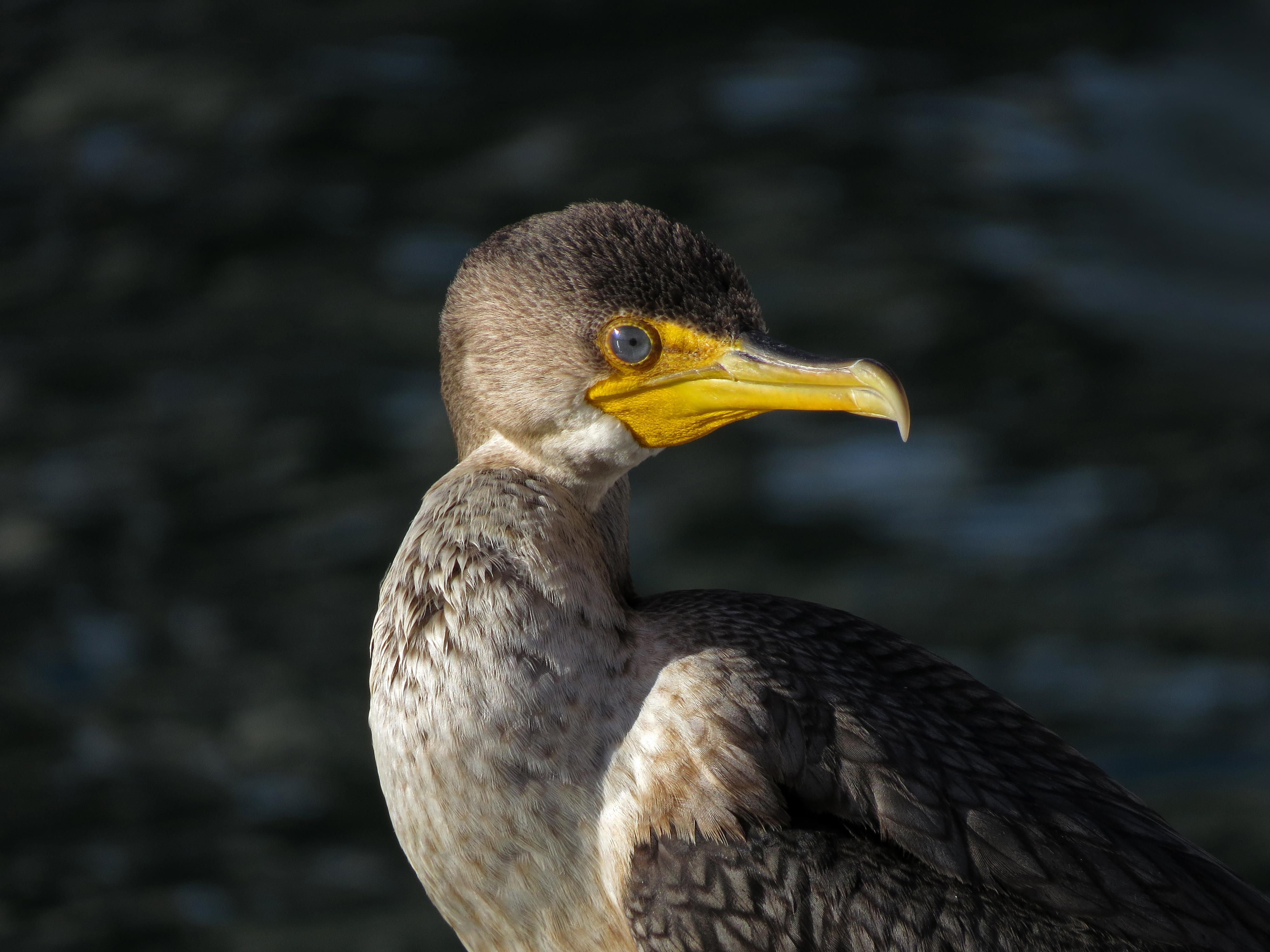 tonybritton2016cormorant.jpg