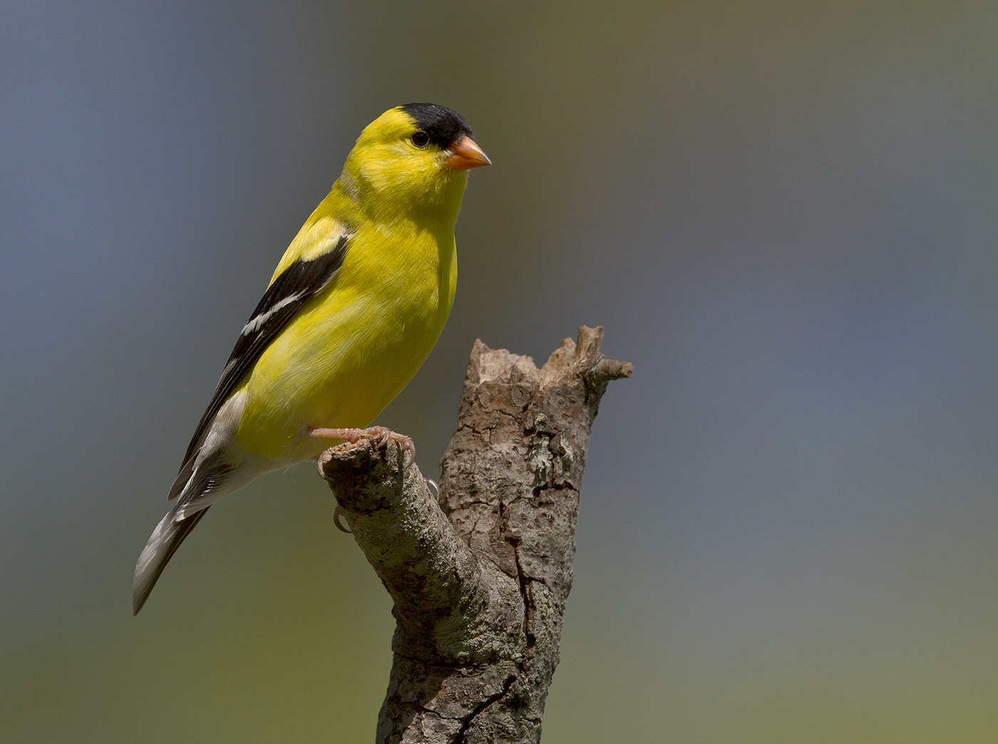 BPN 413 Goldfinch 7_0002.jpg