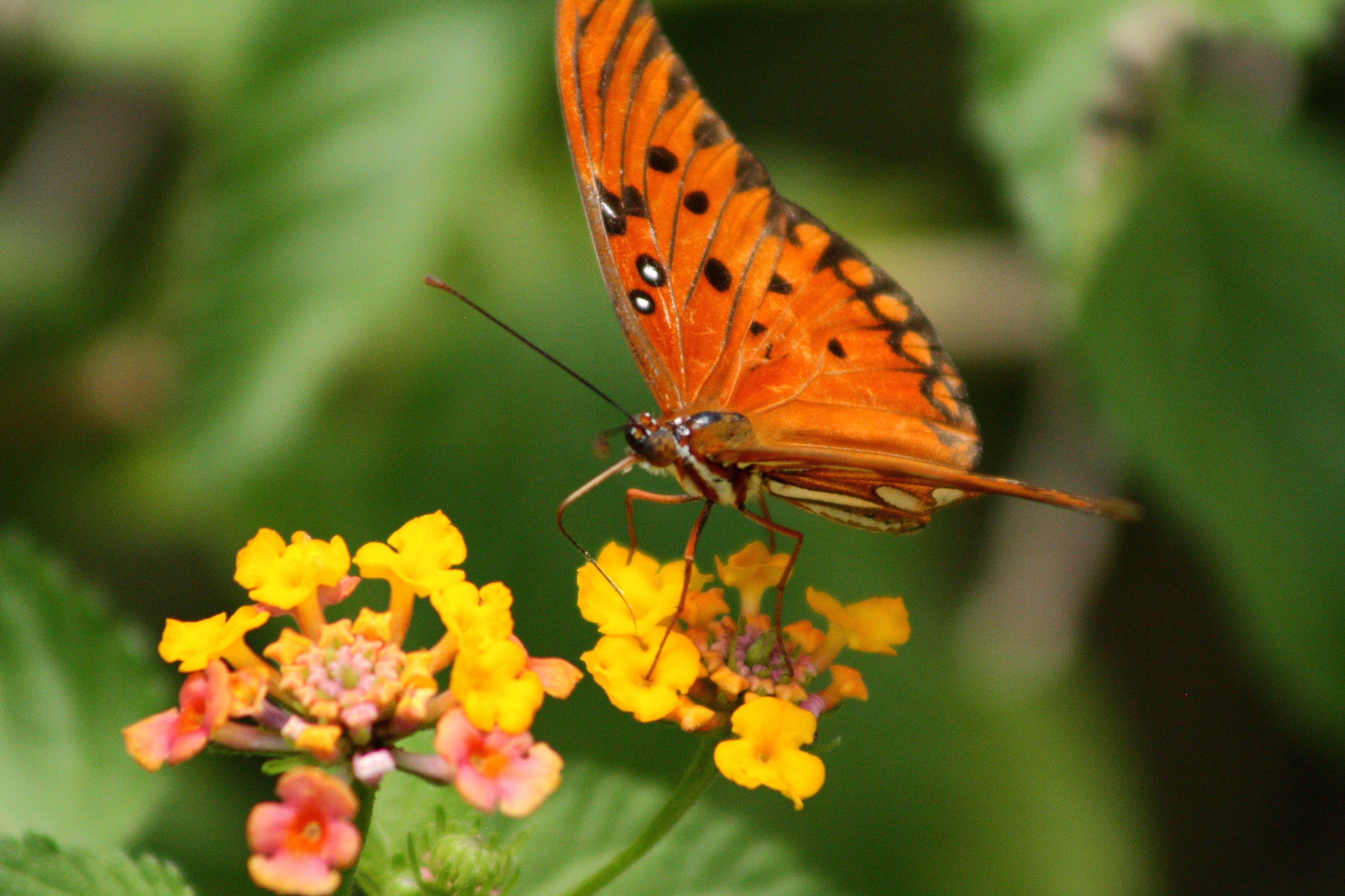 IMG_5927_Gulf Fritillary Butterfly.jpg