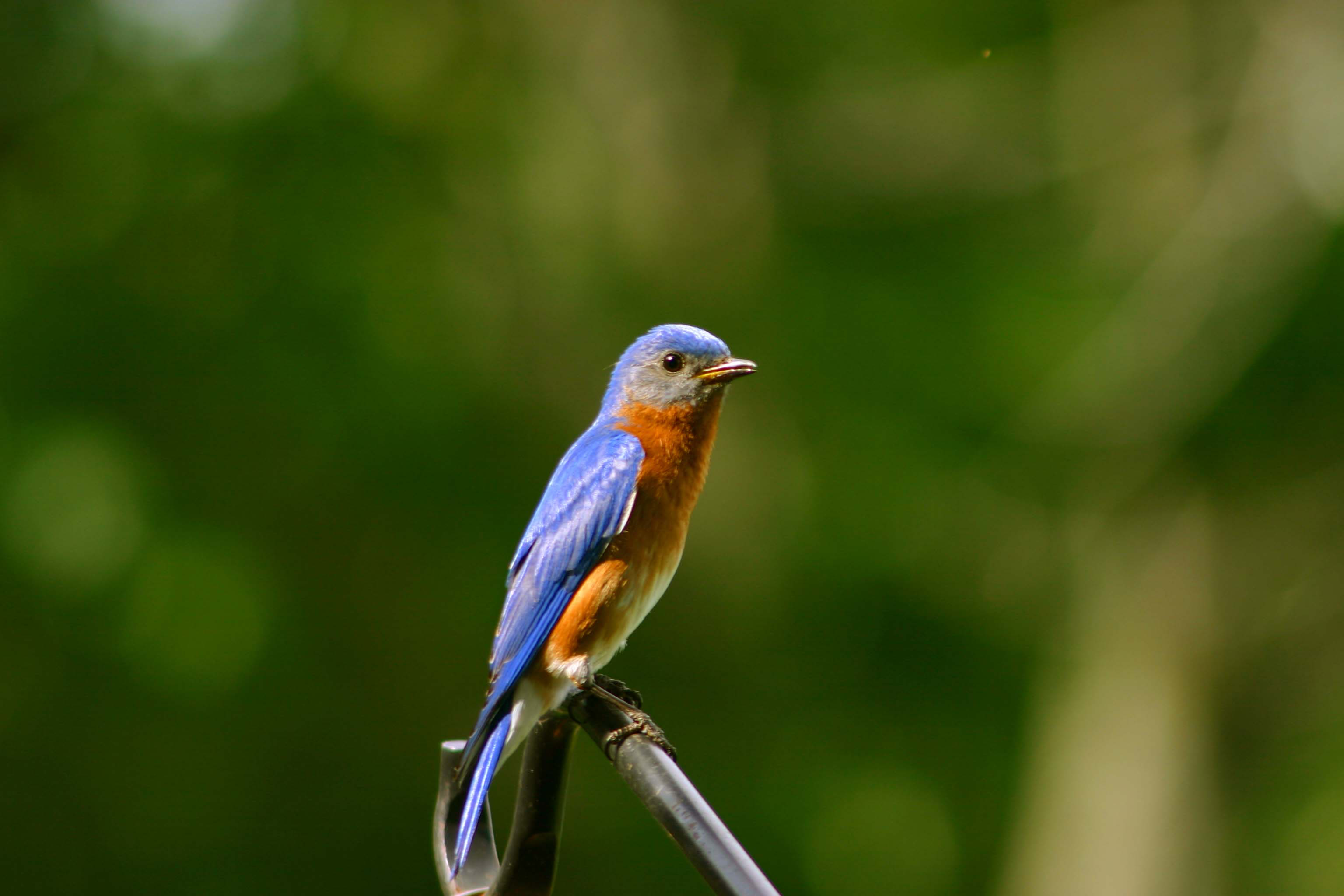 Male Bluebird 11MAY07.jpg