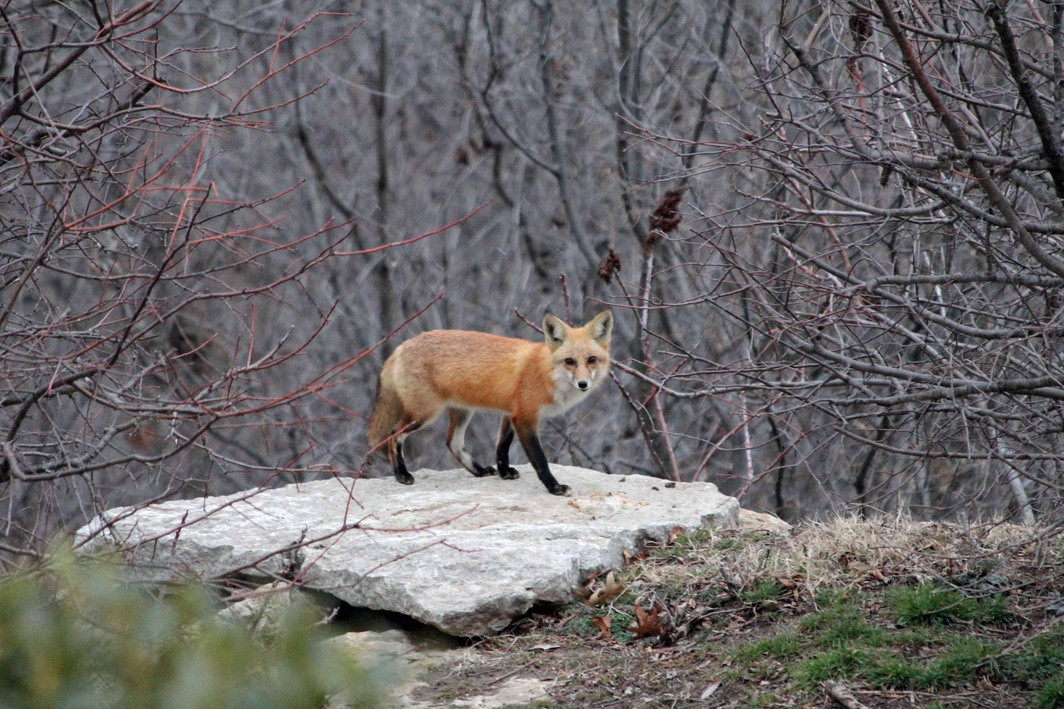 Red Fox (3) 01MAR13 ODWC Entry.jpg