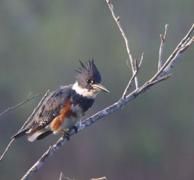 Belted Kingfisher with 80D
