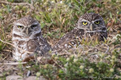Burrowing Owls in South Florida.jpg