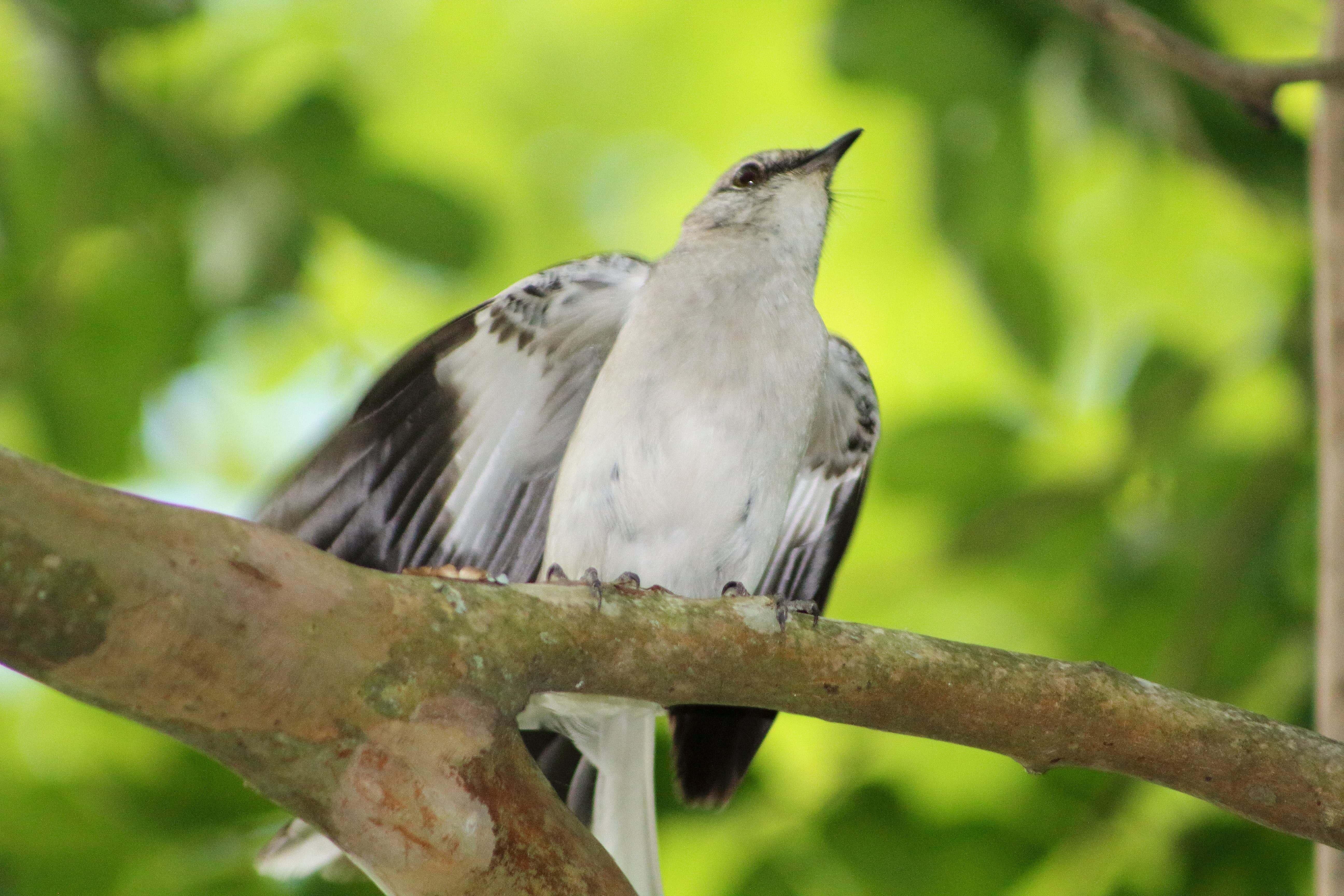 IMG_1214_Mockingbird.jpg