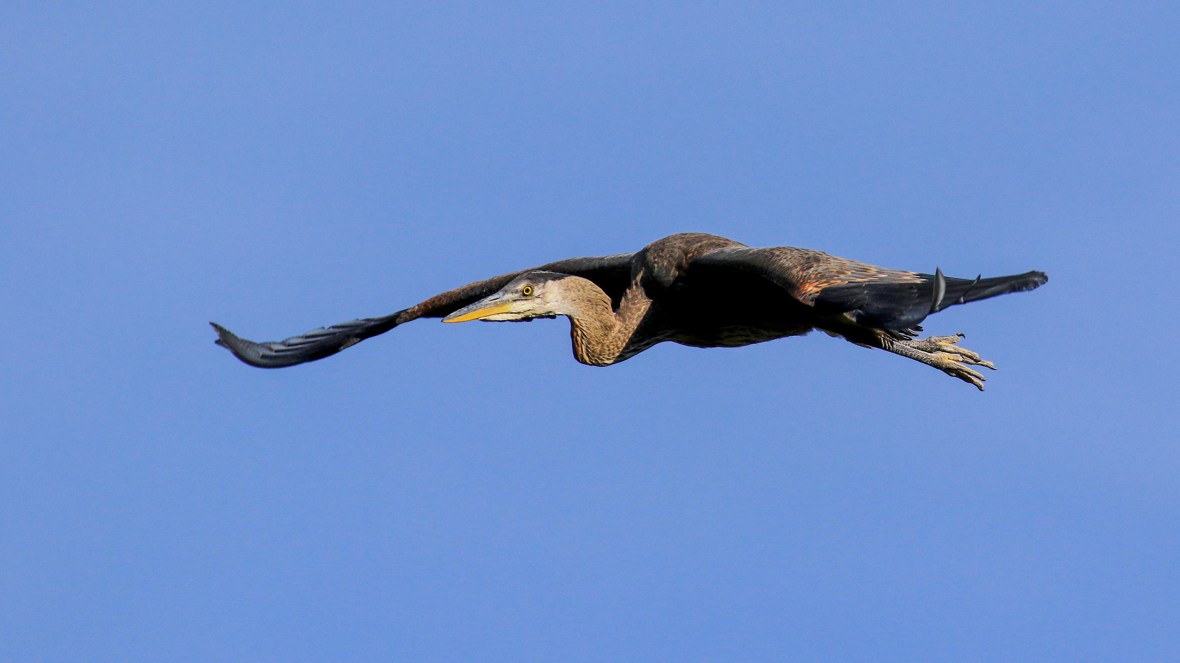 Heron on the wing 001 LR.jpg