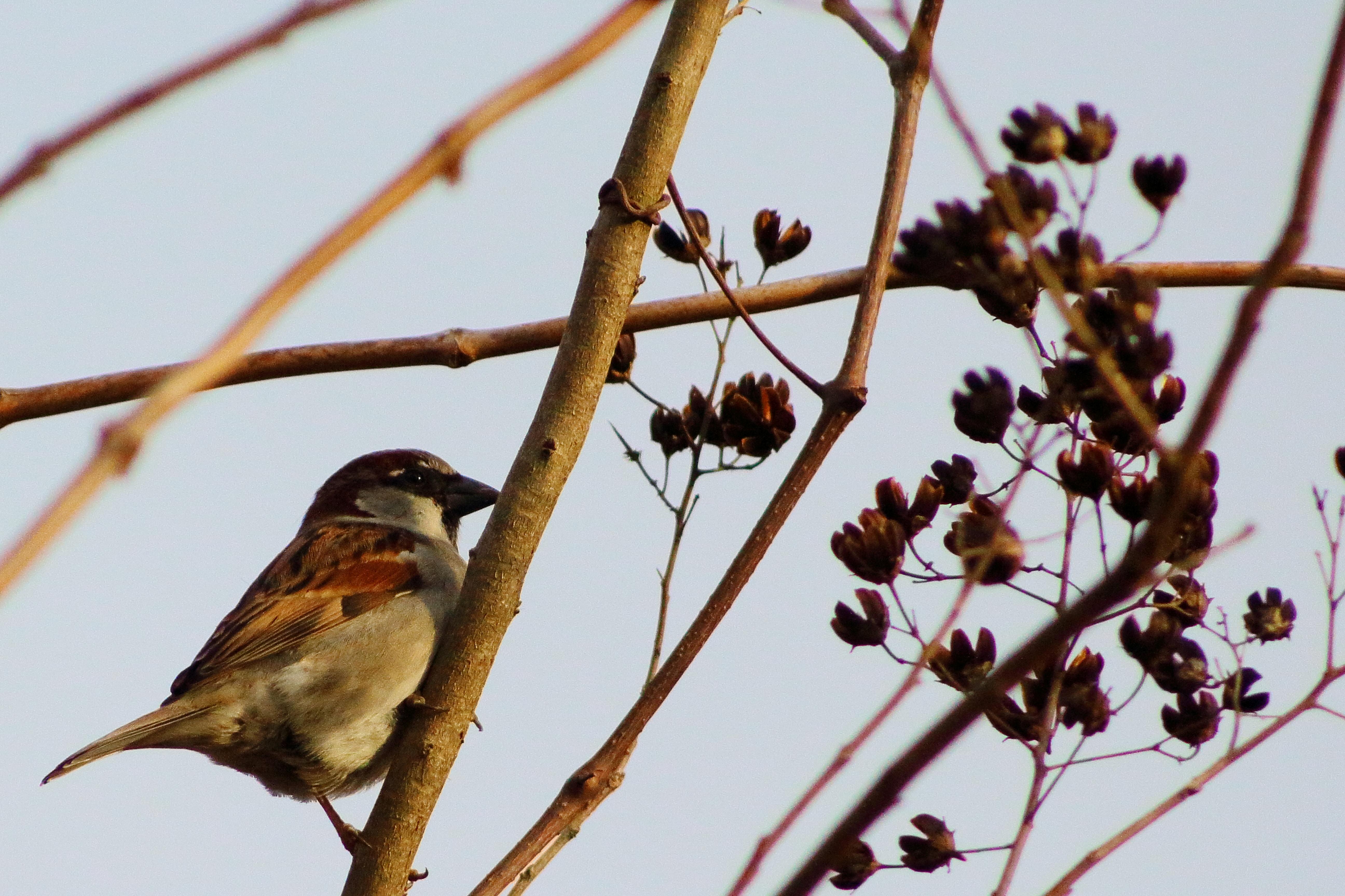 IMG_2350A_House Sparrow.jpg
