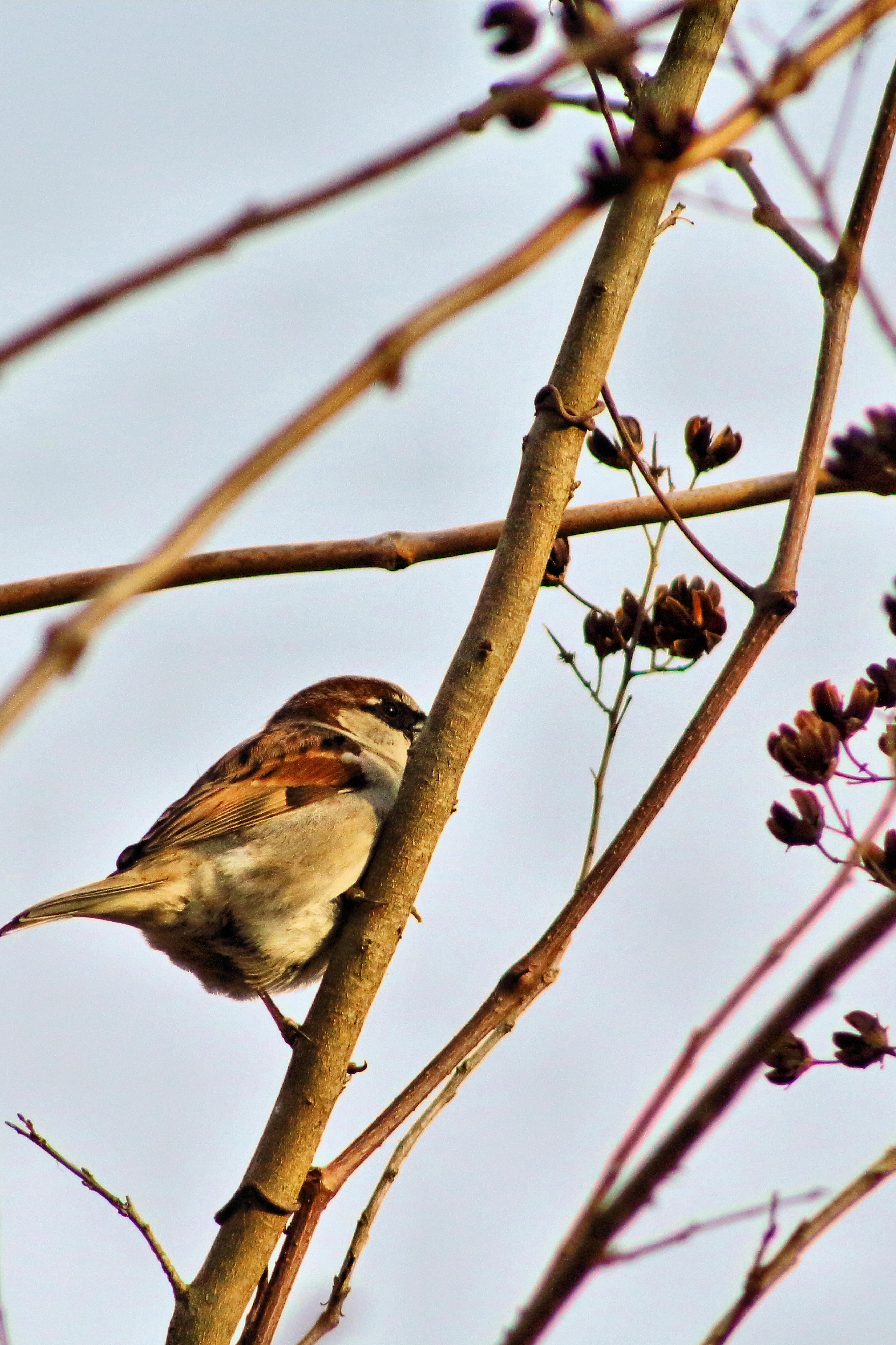 IMG_2346A_House Sparrow.jpg