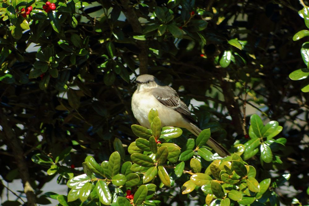 IMG_2229_Northern Mockingbird.jpg