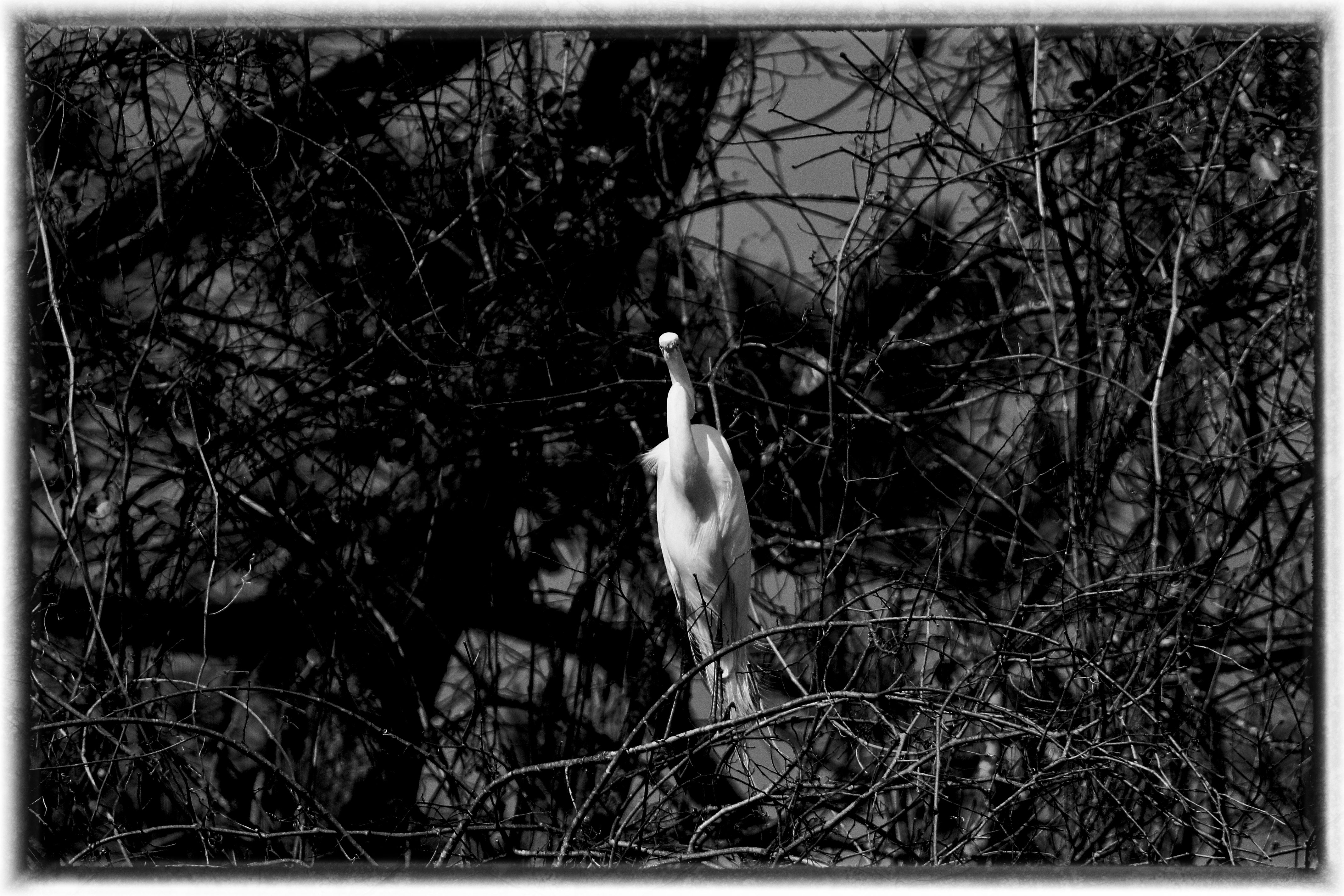 IMG_8726BW2_Great Egret.jpg