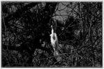 IMG_8726BW2_Great Egret.jpg