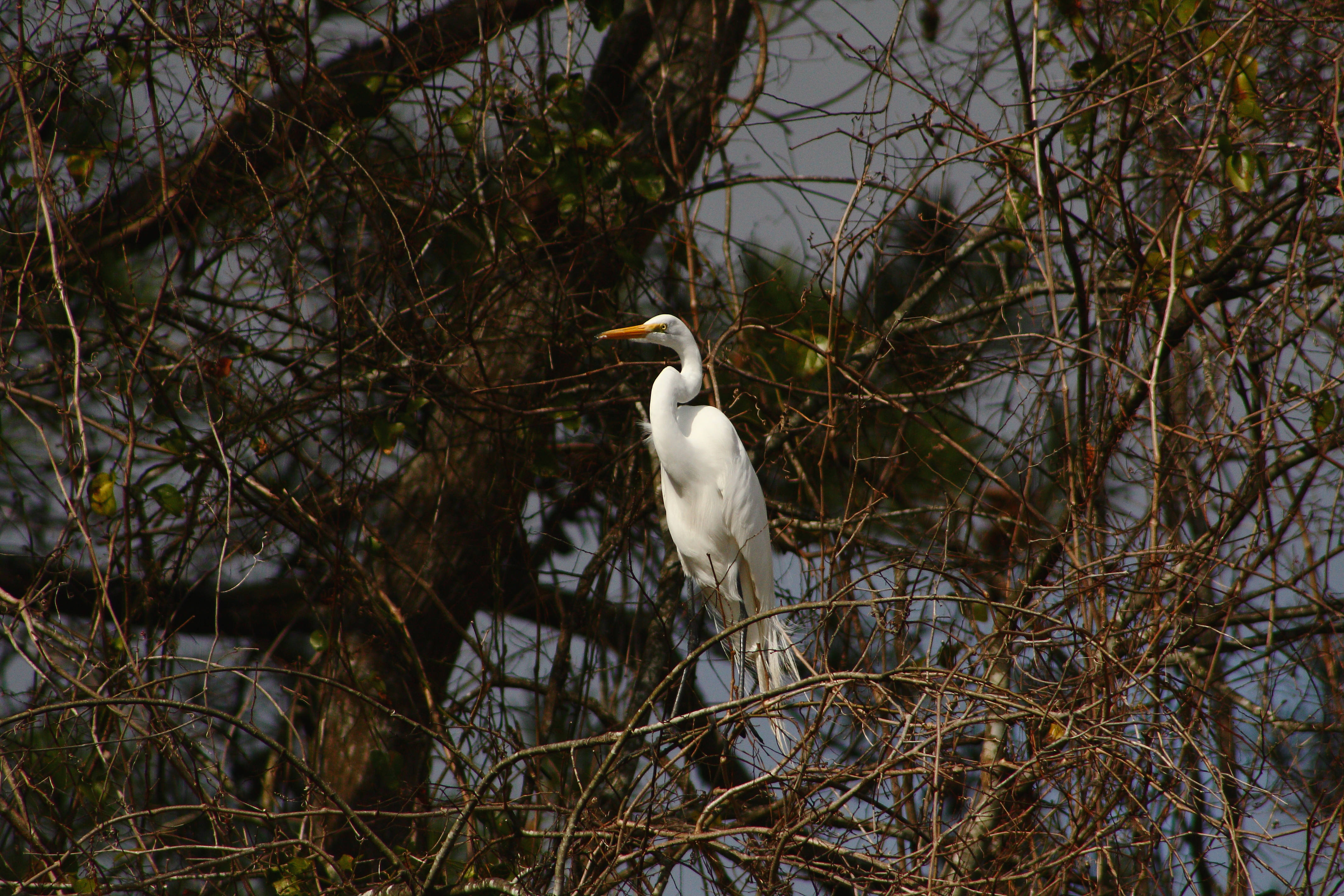IMG_8728_Great Egret.jpg