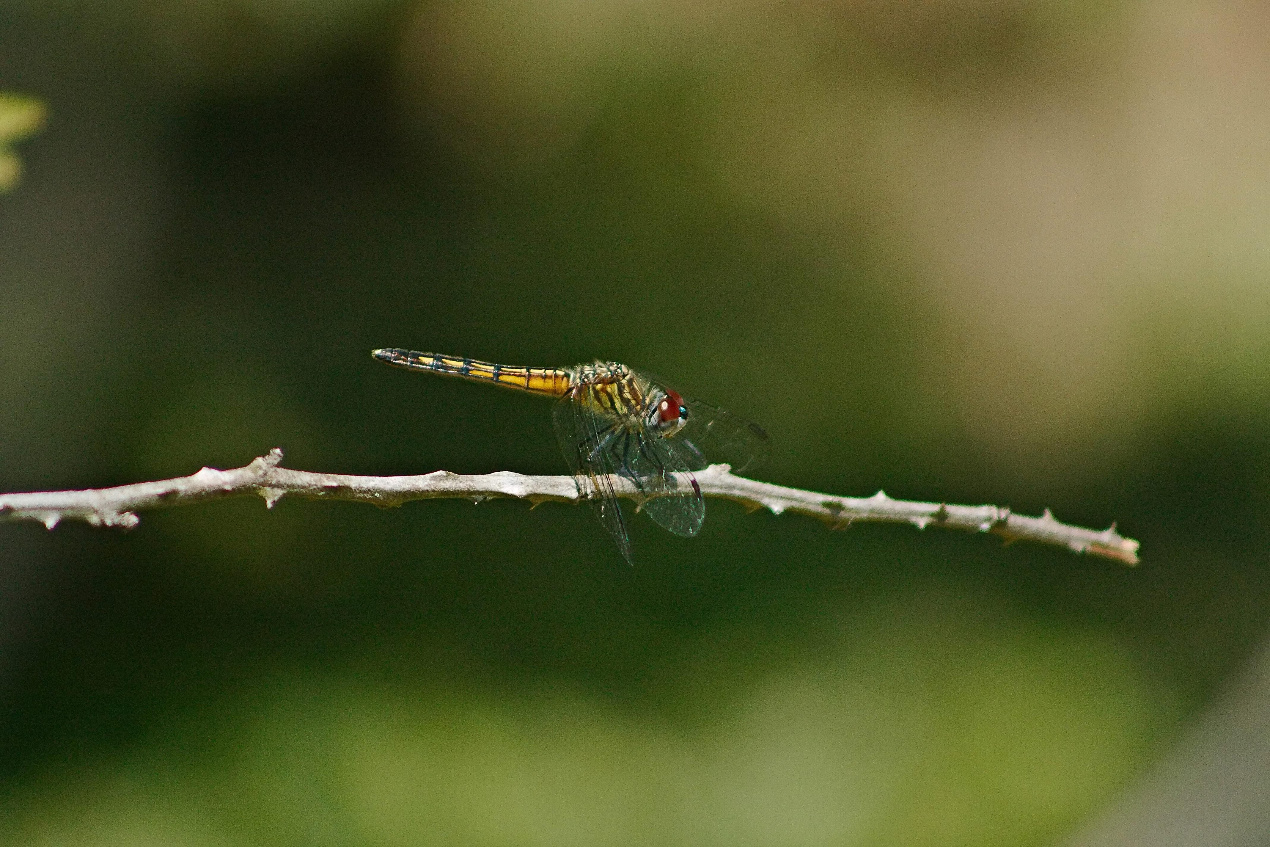 IMG_8855_v1_Dragonfly.jpg