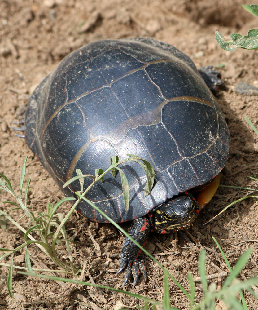 Painted Turtle Crawling
