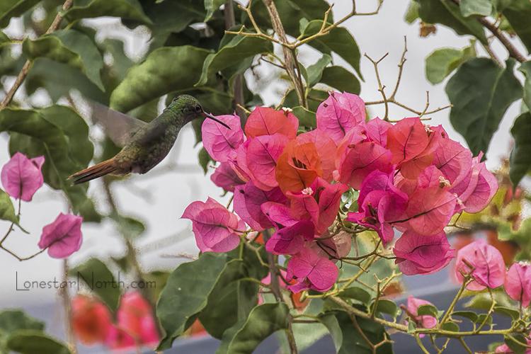 rufous-tailed-hummingbird_6515-64125wm.jpg