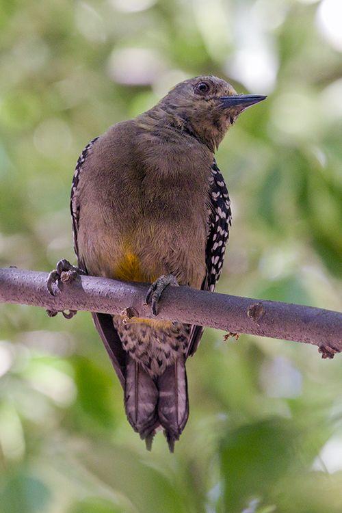hoffmanns-woodpecker_6537-46.jpg