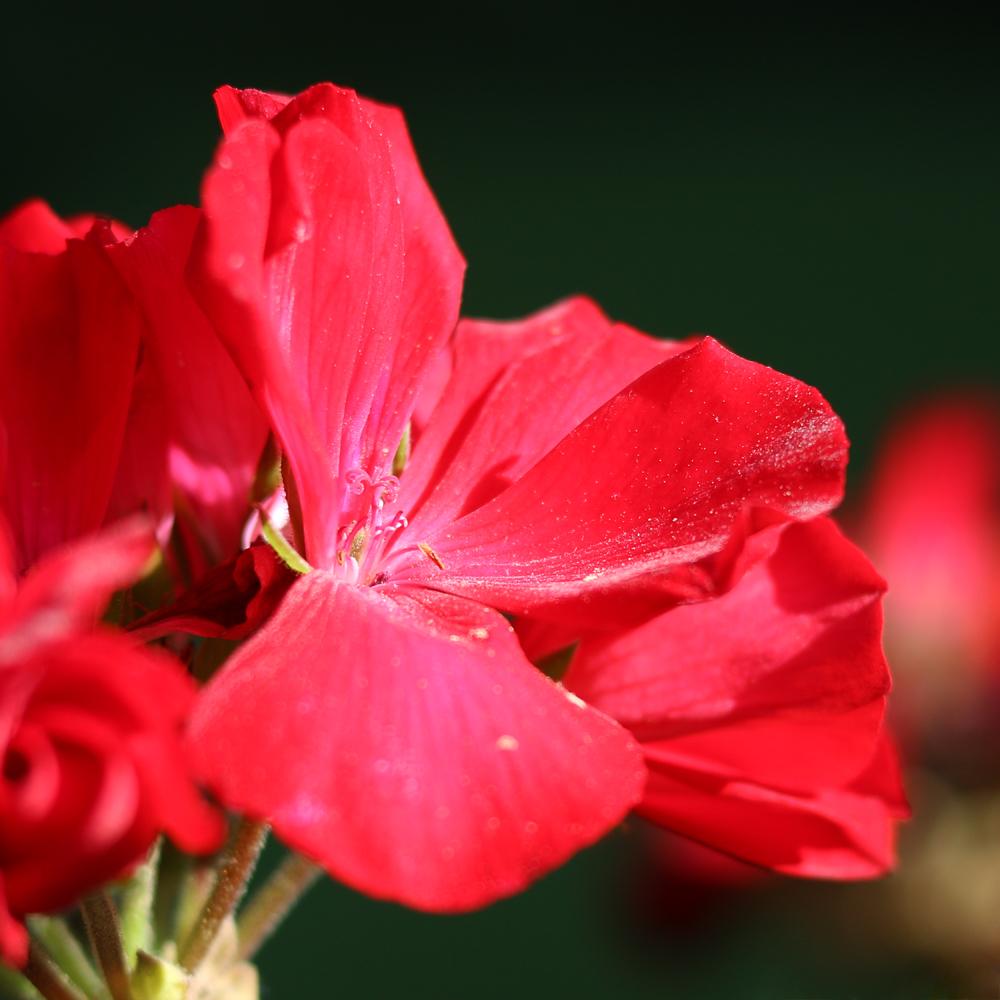 IMG_Red Flower.jpg