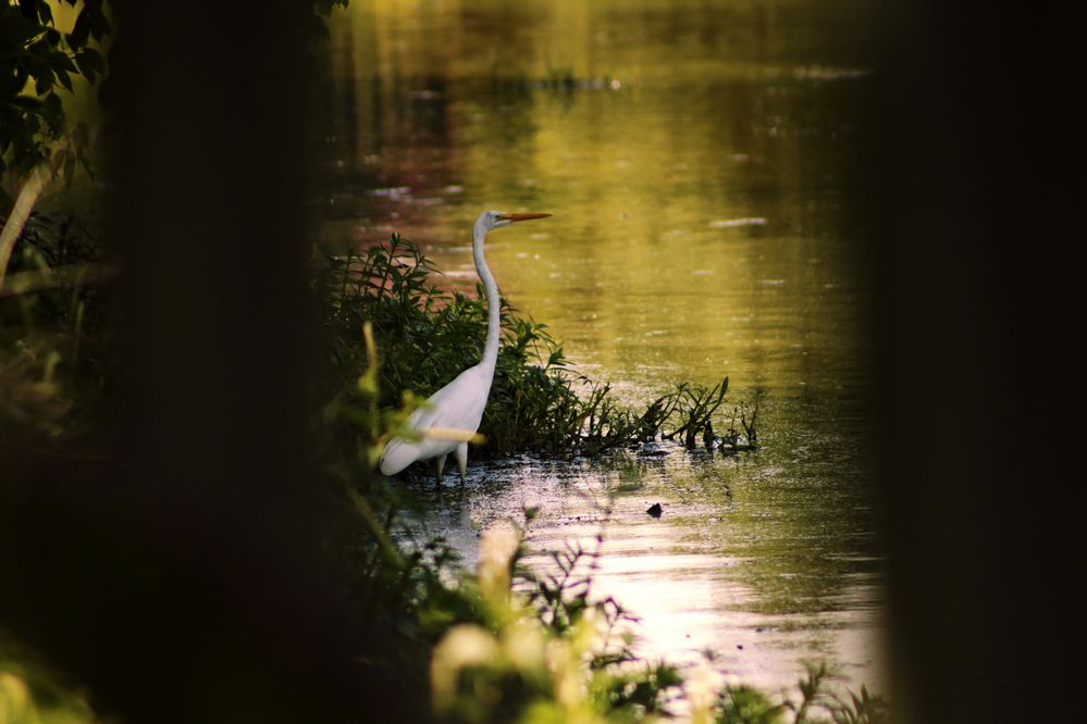IMG_2785_Great Egret.jpg