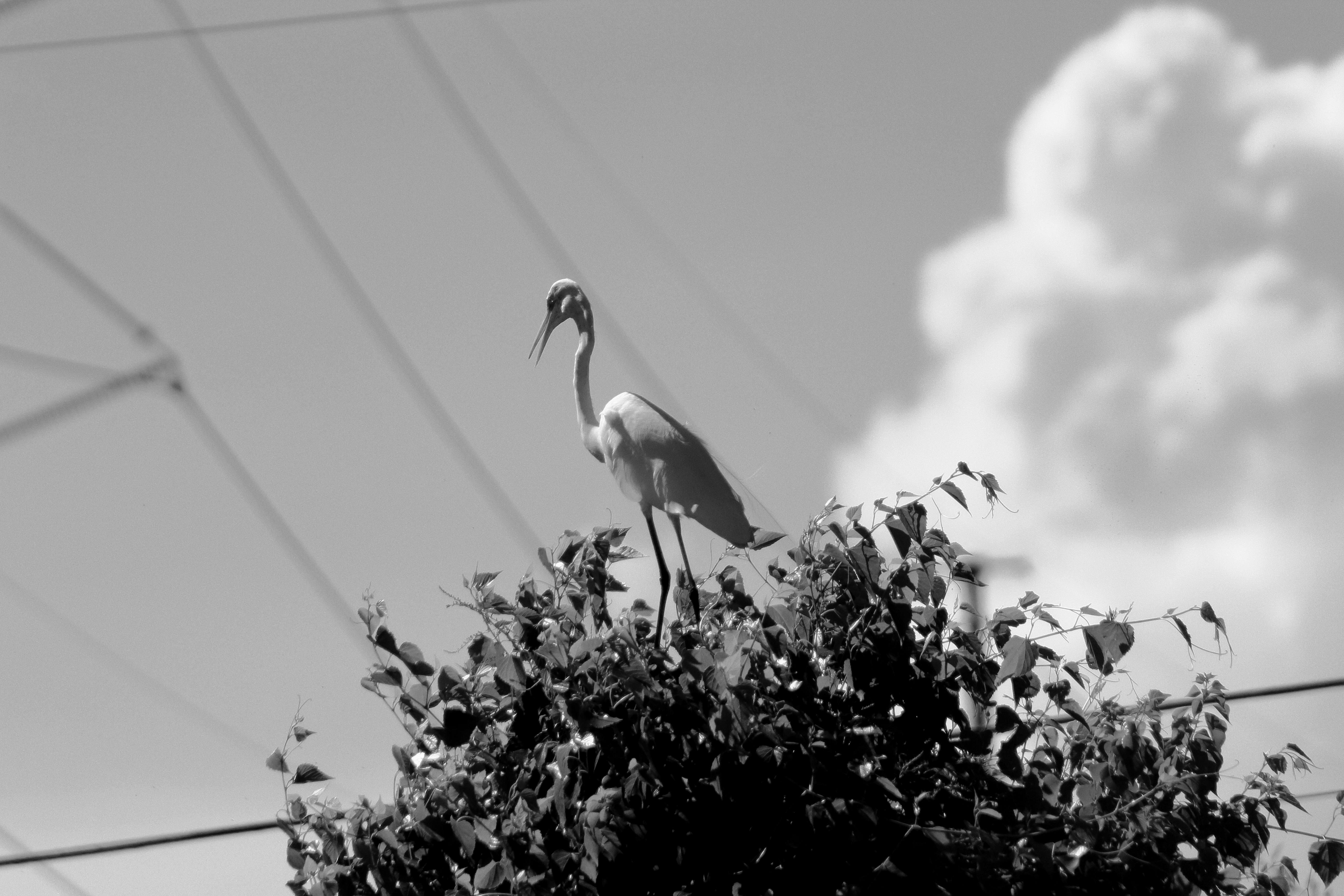 IMG_2861BW_Great Egret.jpg