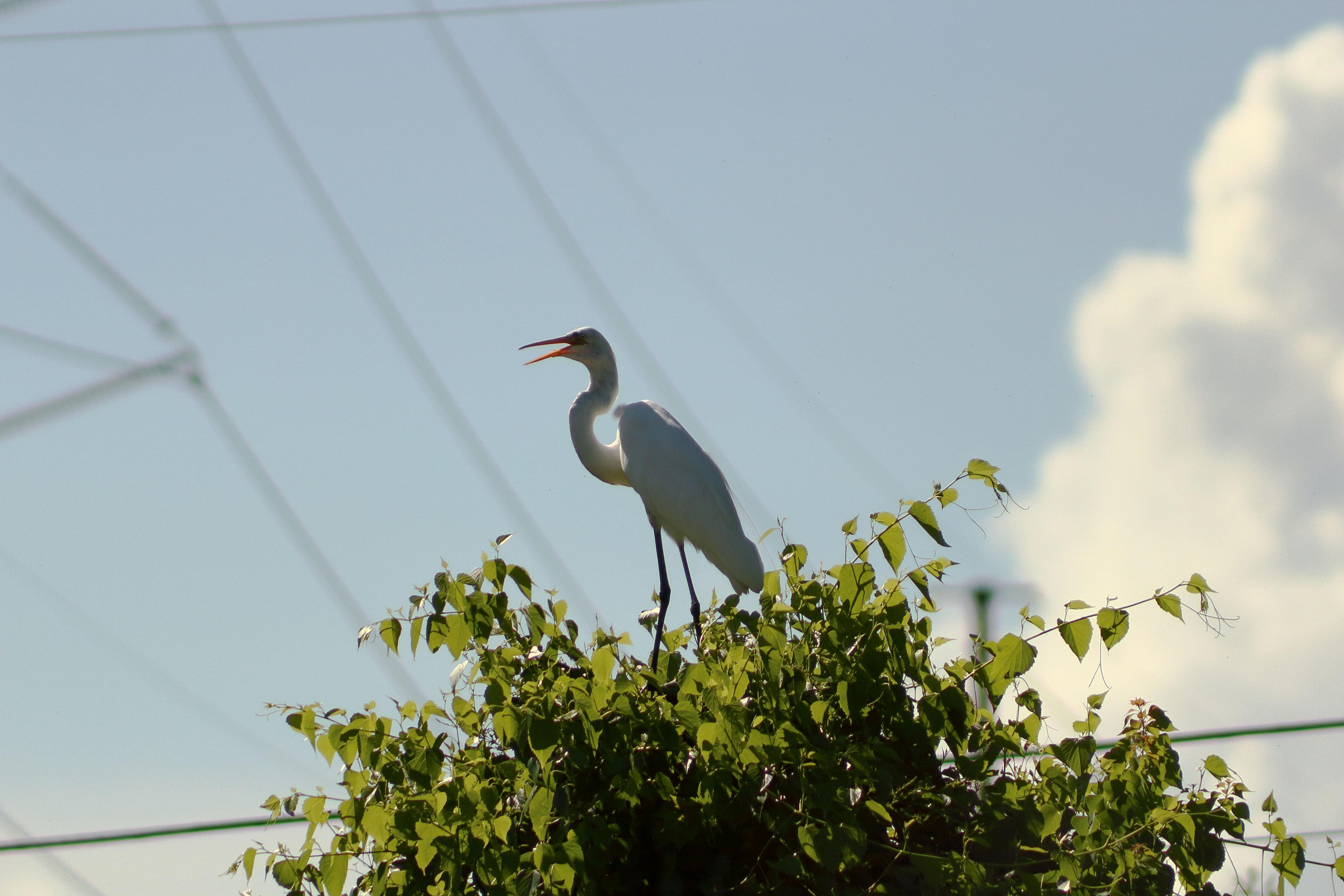 IMG_2871_Great Egret.jpg