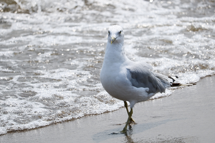 IMG_Seagull Wading in the Ocean Water.jpg