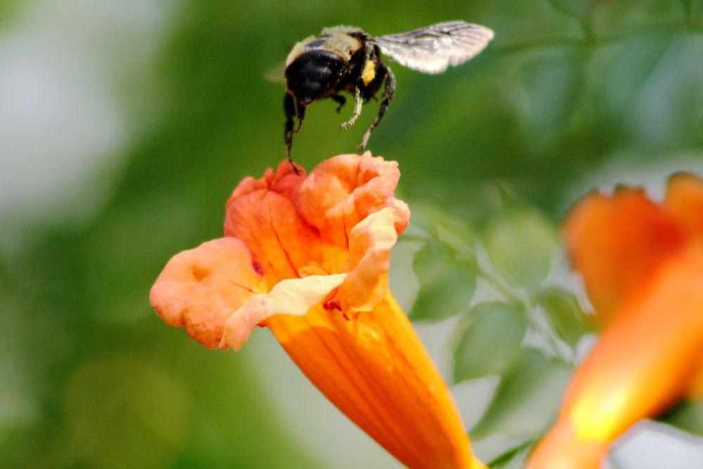 IMG_9082_Trumpet Vine and Bee.jpg