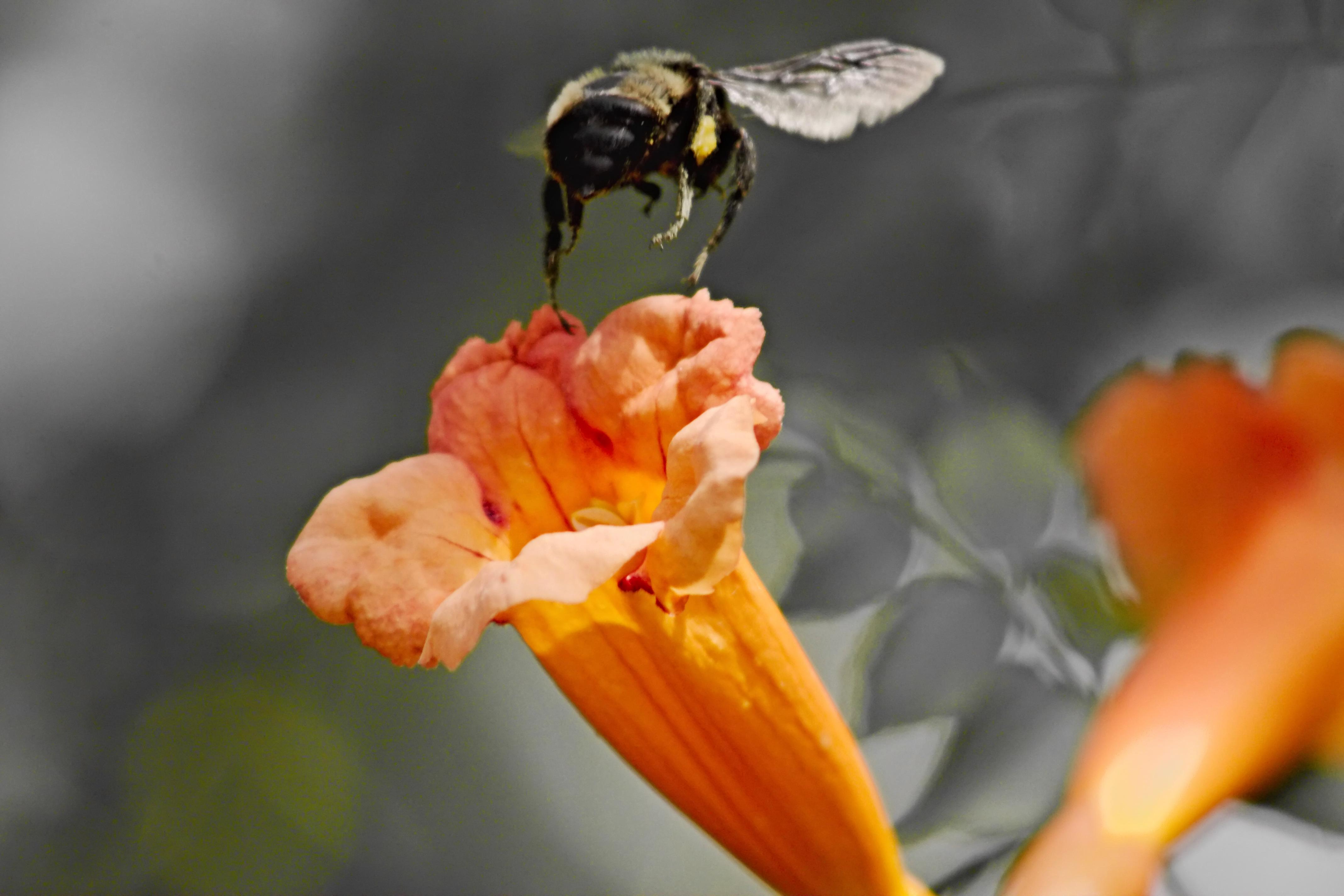 IMG_9082_v2_Trumpet Vine and Bee.jpg
