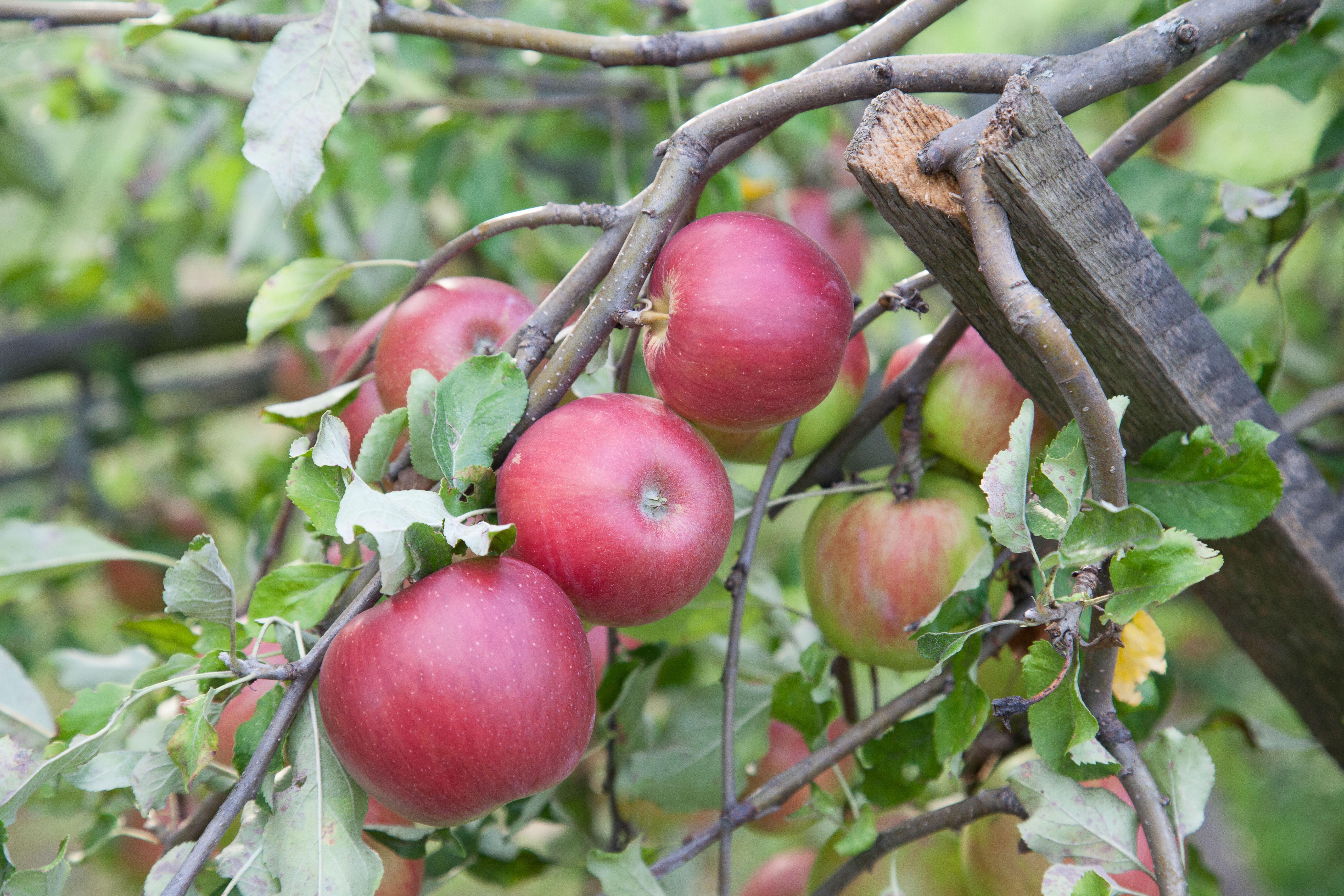 Apples 5D mark II.jpg