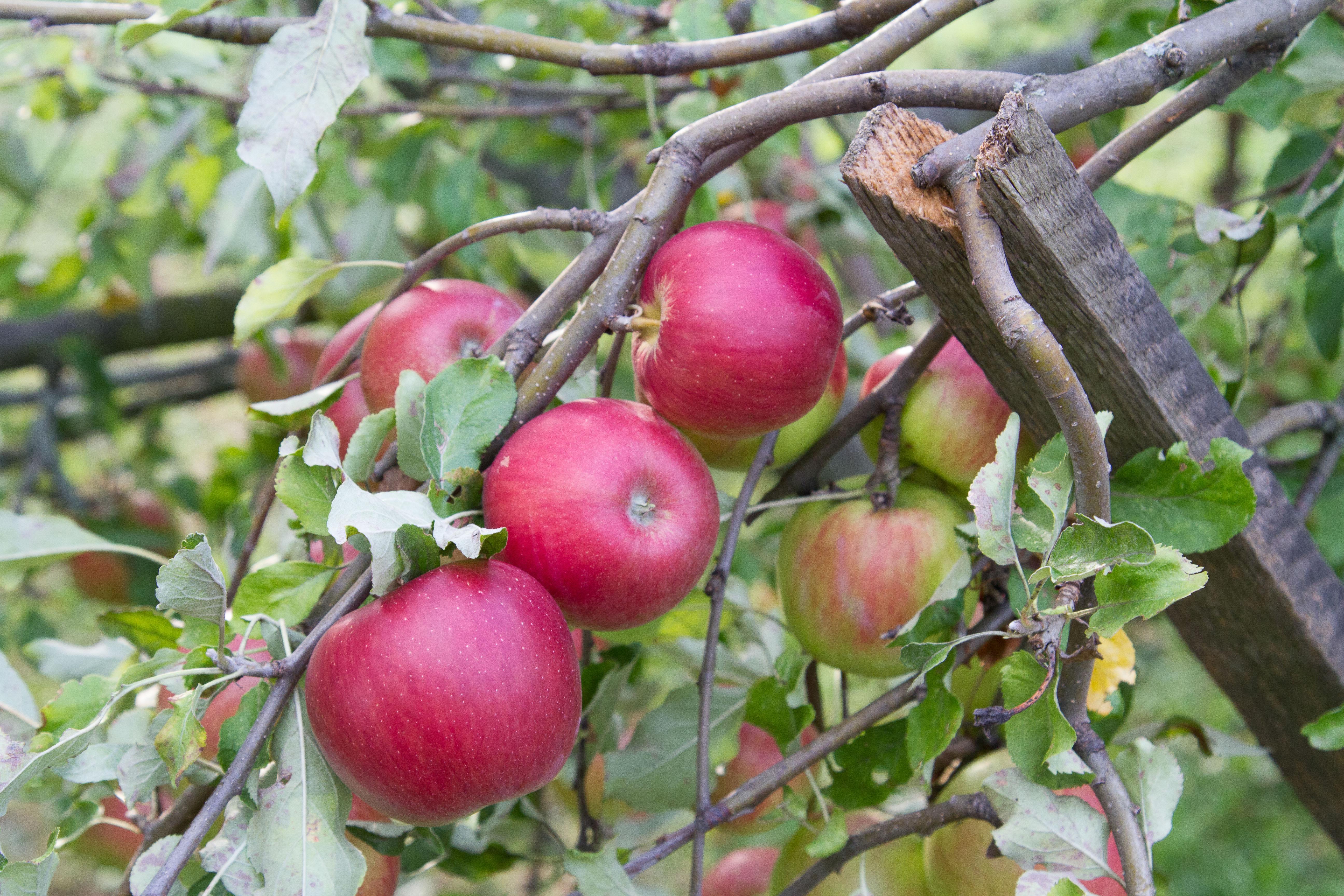 Apples 7D.jpg
