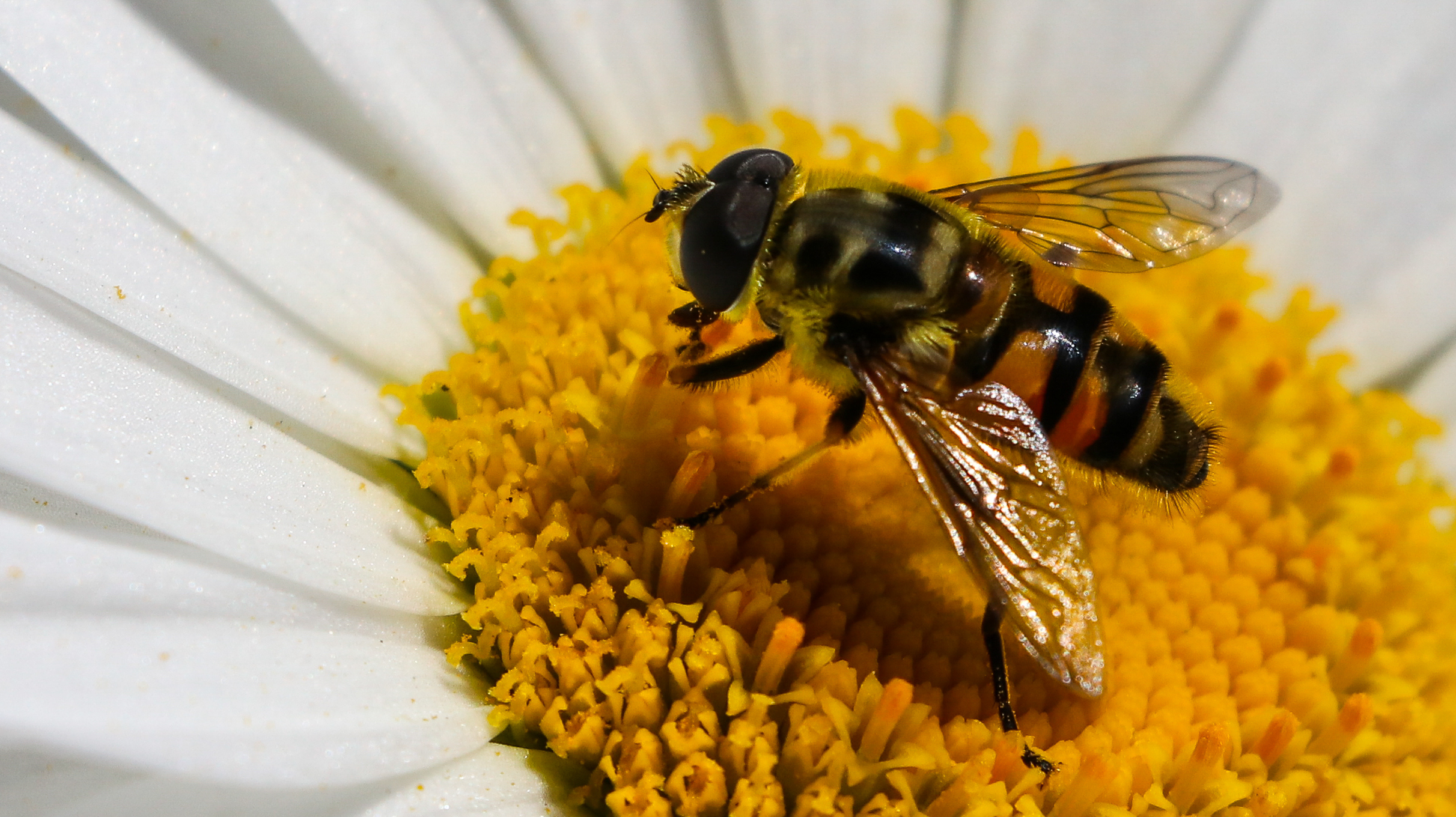 Bee on a flower 03 - Copy.jpg