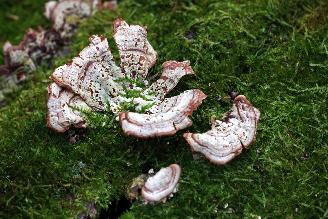 IMG_Fungi on Greeny log.jpg