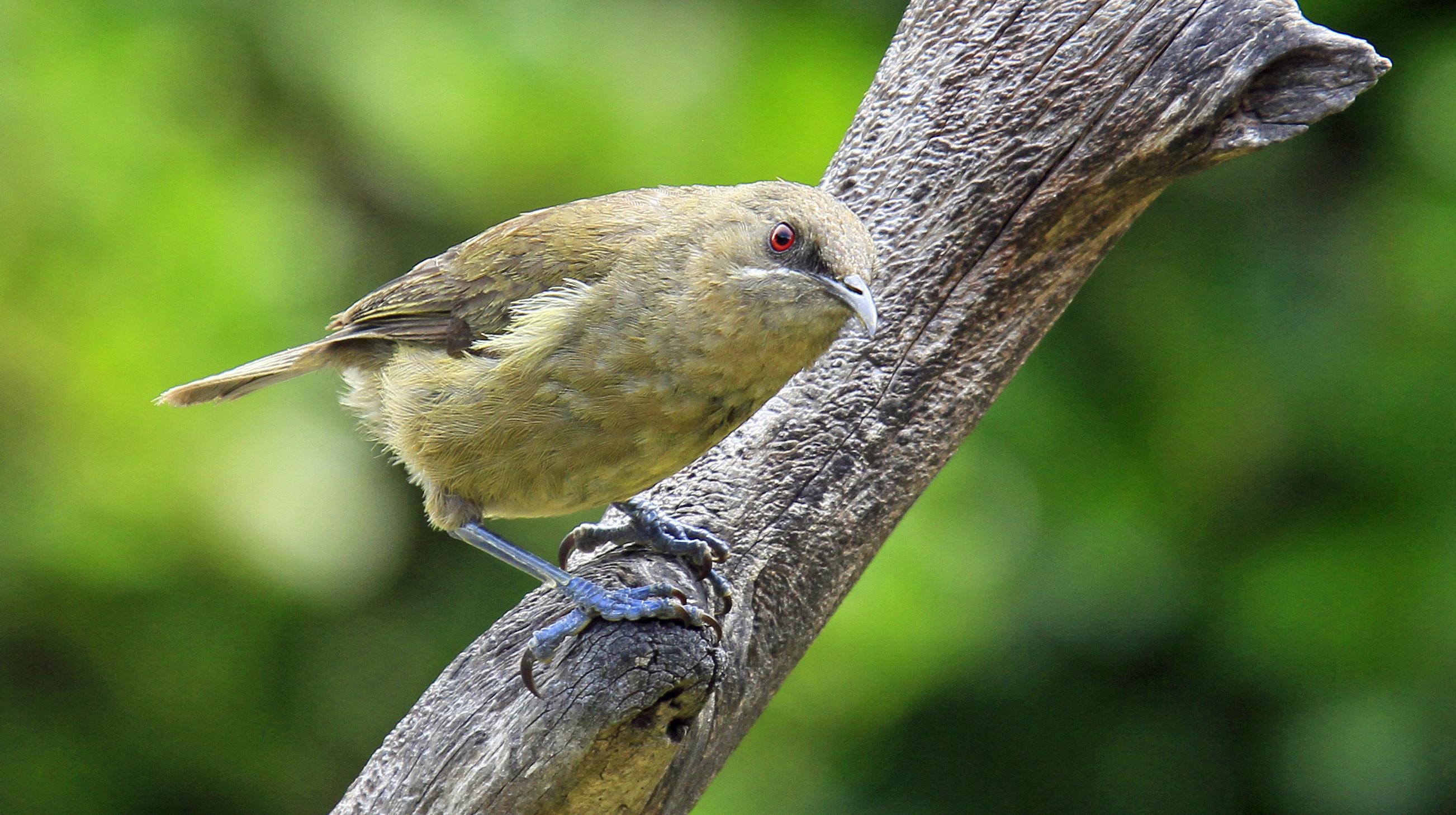 NZ Auckland TIri Bell Bird 001.jpg