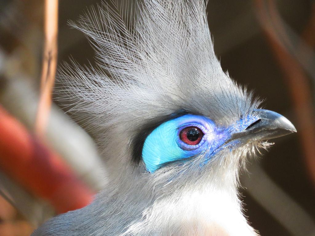 crested_bird_sac_zoo_1024x768.jpg
