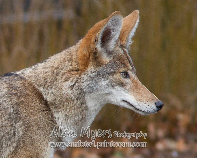 Valley coyote