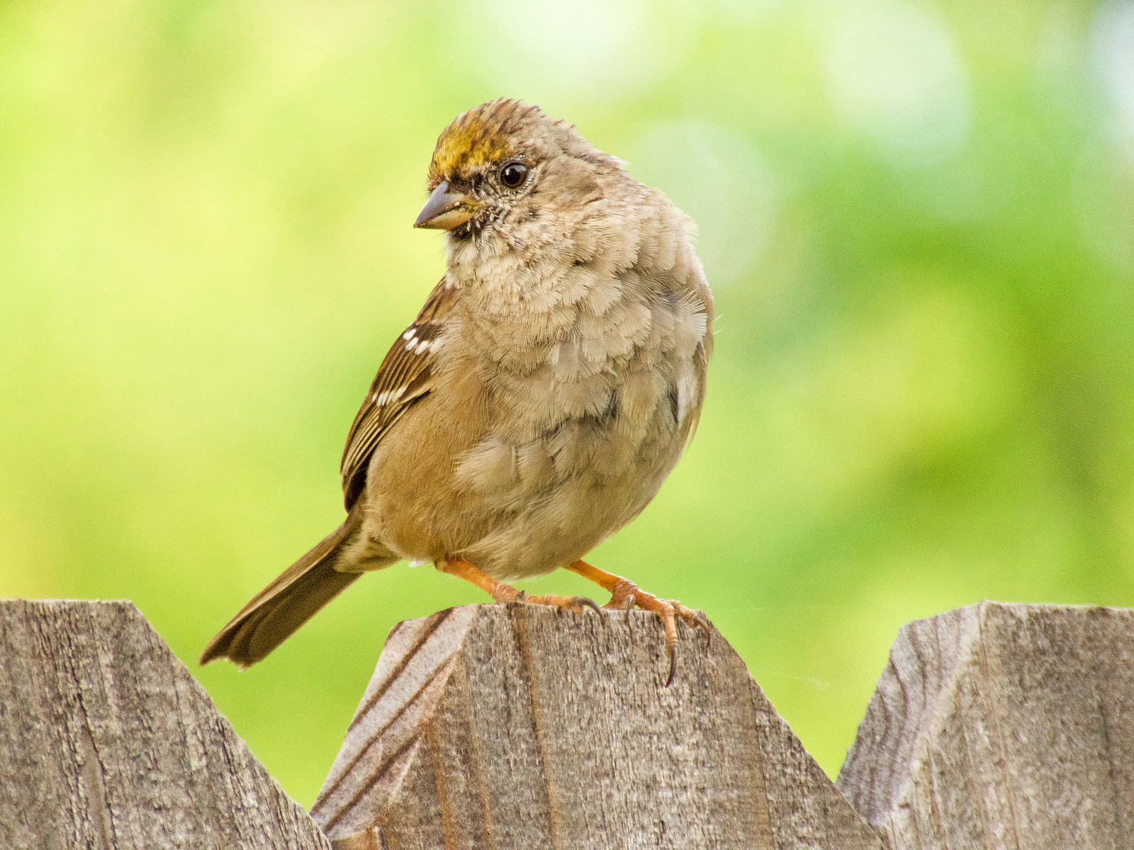 SX60_golden-crowned_sparrow_1600x1200.jpg
