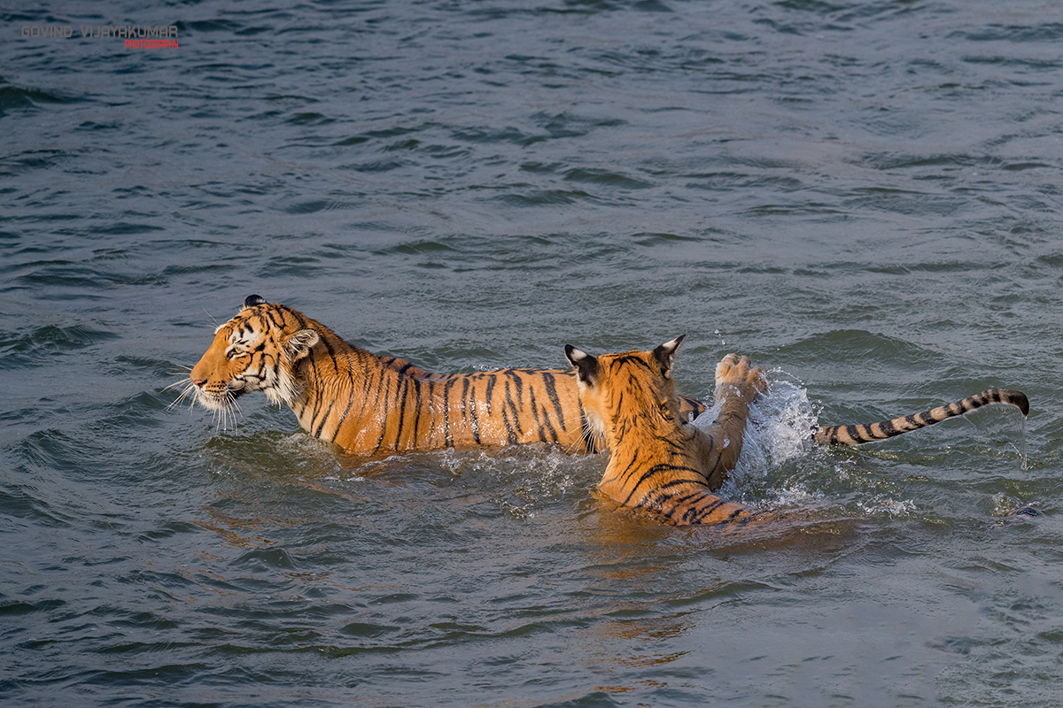 Tigress and Cub Playing in River