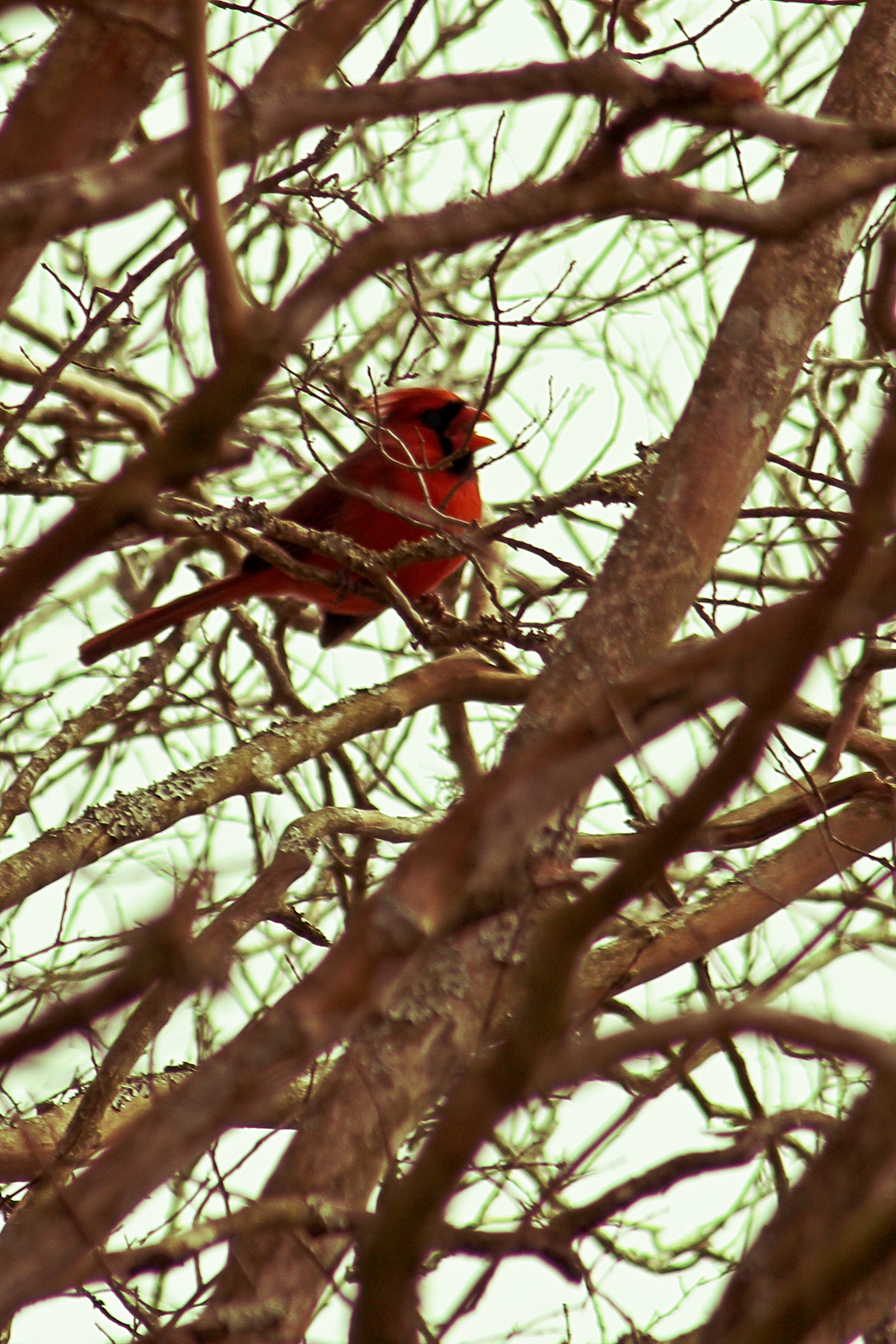 IMG_9343_Cardinal.jpg