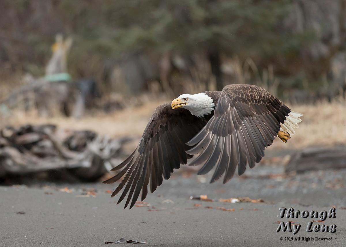 Eagle-leaving-Beach.jpg