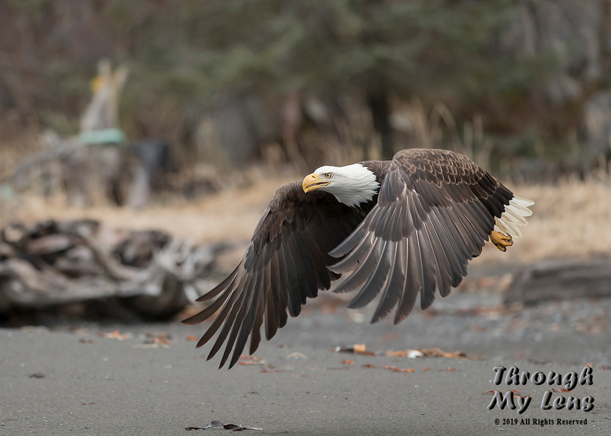 Eagle-leaving-Beach.jpg