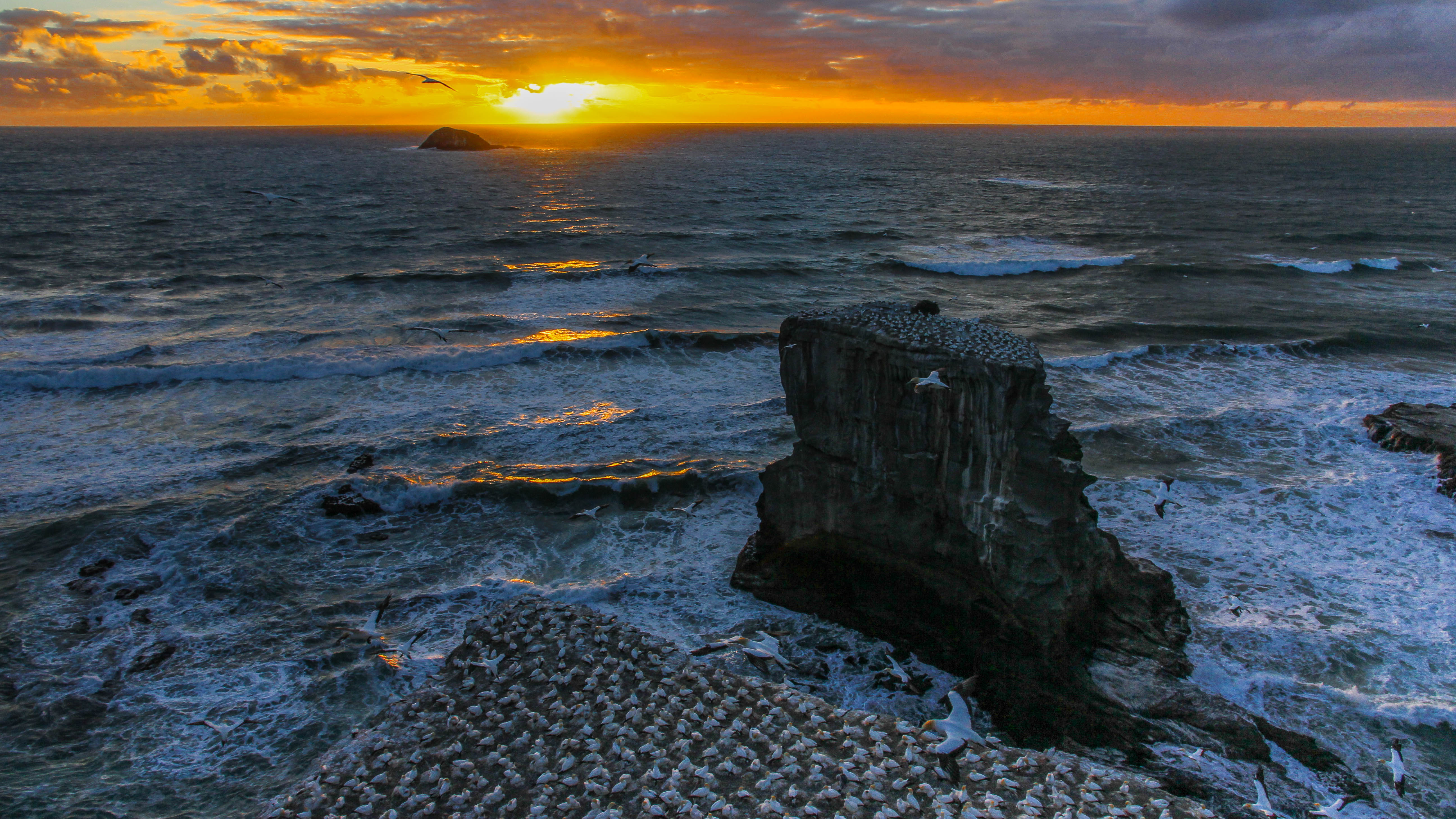 NZ Auckland Muriwai Gannet Colony Sunet 06.jpg