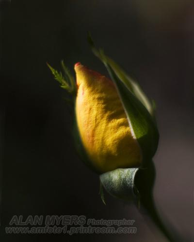 Rose bud chiarascuro