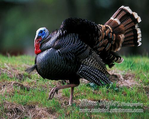Tom turkey strutting